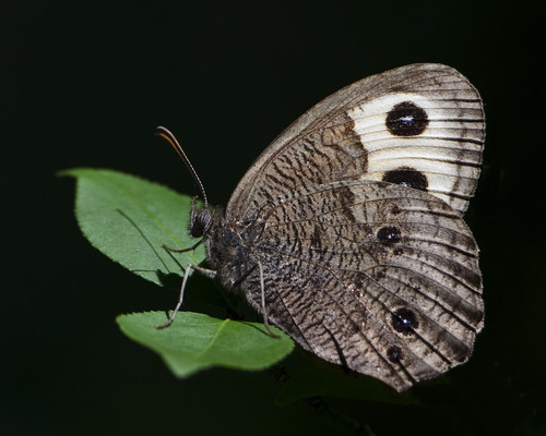 kh0831 schermanhoffman naturesfinest 600l4 wildlifecanon600mmf4 insect getty butterfly xplr 286 thousandplus nj newjerseyaudubon pressing six lepidoptera