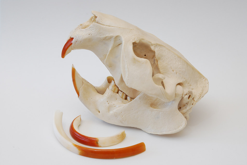 Beaver Skull (1)   Skull from an American Beaver, Castor can