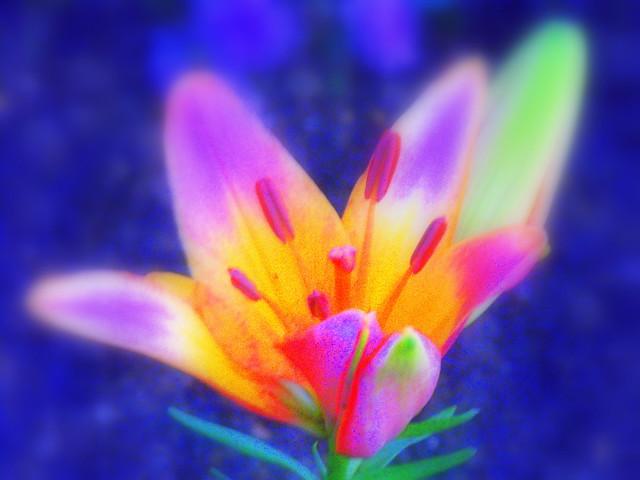 Psychedelic Tie Dye Hybrid Lily