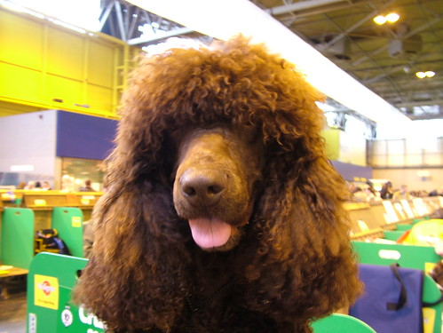Irish Water Spaniel | by anataman
