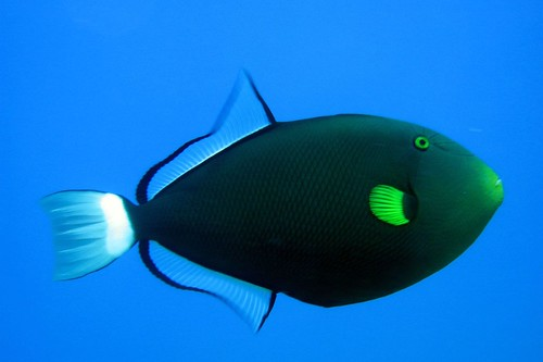 Triggerfish | by petechen