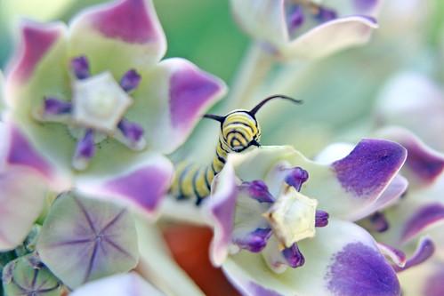 Monarch Butterfly Caterpiller 1