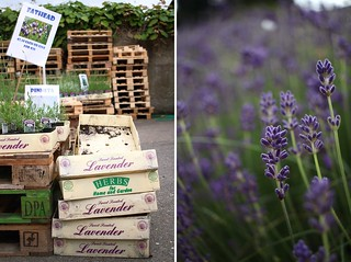 Lavender Harvest Party | by The Art of Exploring