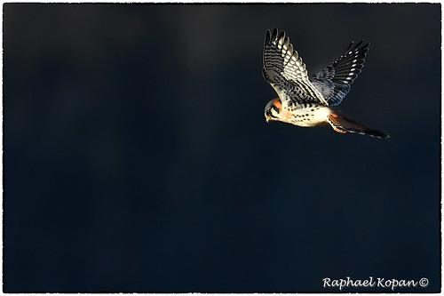 americankestrel armlederpark cincinnati raphaelkopanphotography ohio d500 200500mmf56edvrzoom handheld nikon wildlife