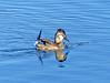Ruddy Duck (Oxyura jamaicensis) by Francisco Piedrahita