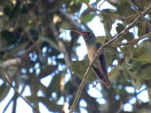 Buff-bellied Hummingbird   by Justin Lee (NoNameKey)