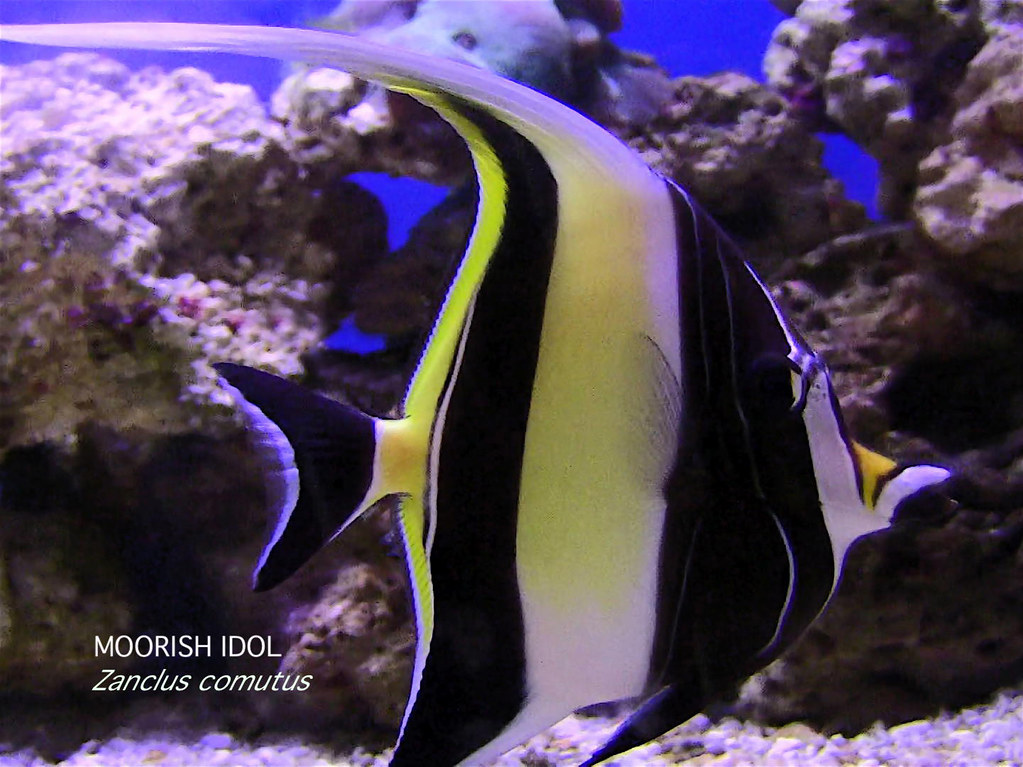 Moorish Idol Color Of Life Color On The Reef Color Conce Flickr