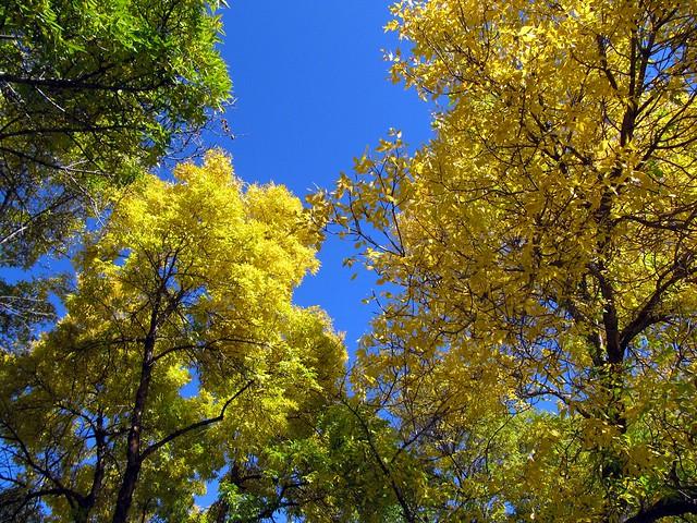 Vibrant Golden Yellow Fall Colours at River Valley, Edmonton, Alberta, Canada