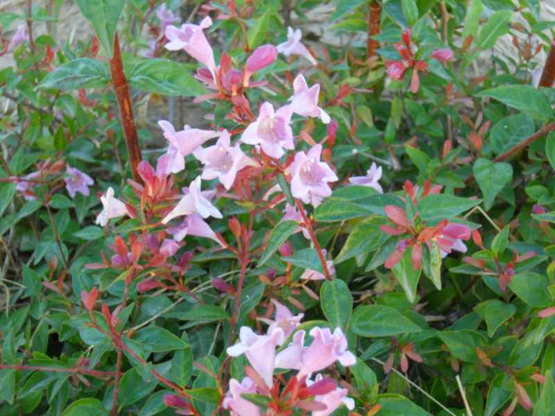 Abelia x grandiflora 'Edward Goucher' 1