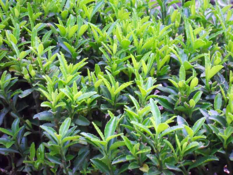 Buxus sempervirens 'Suffruticosa' hojas 2