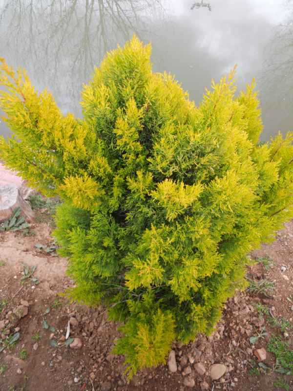 Thuja occidentalis 'Rheingold' v 1