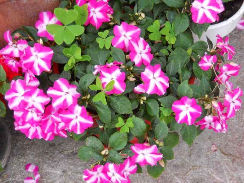 Petunia grandiflora 4