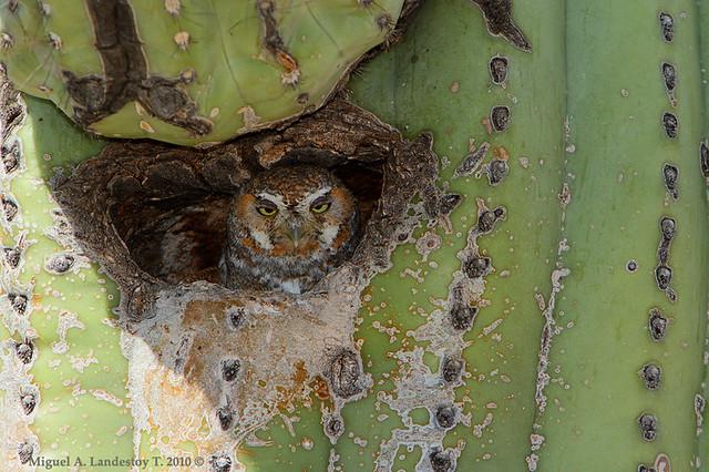 Elf Owl In Saguaro Cactus