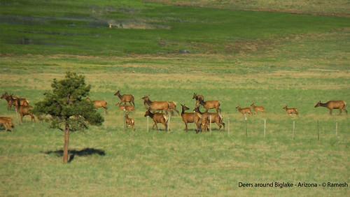 arizona deers biglake nikonp80 kommoju venkataramesh venkatarameshkommoju