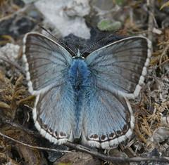 """Chalkhill Blue"" DSC05988-1"