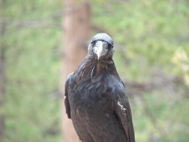 Raven at Bryce Canyon National Park, Utah