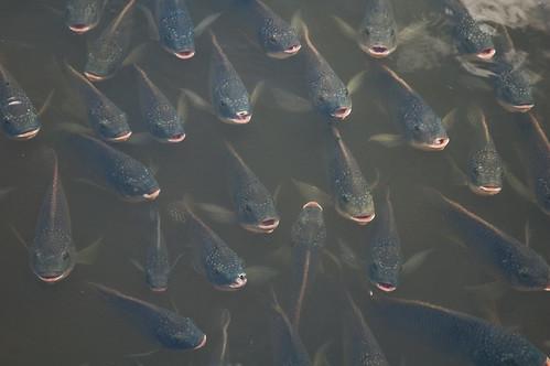 Pesci affamati