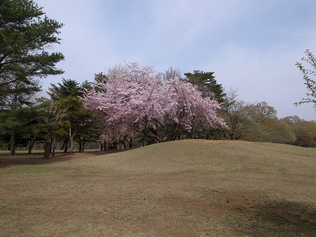 <p>d)桜並木から少しはなれて、1本で存在感のあるステキな桜です。</p>