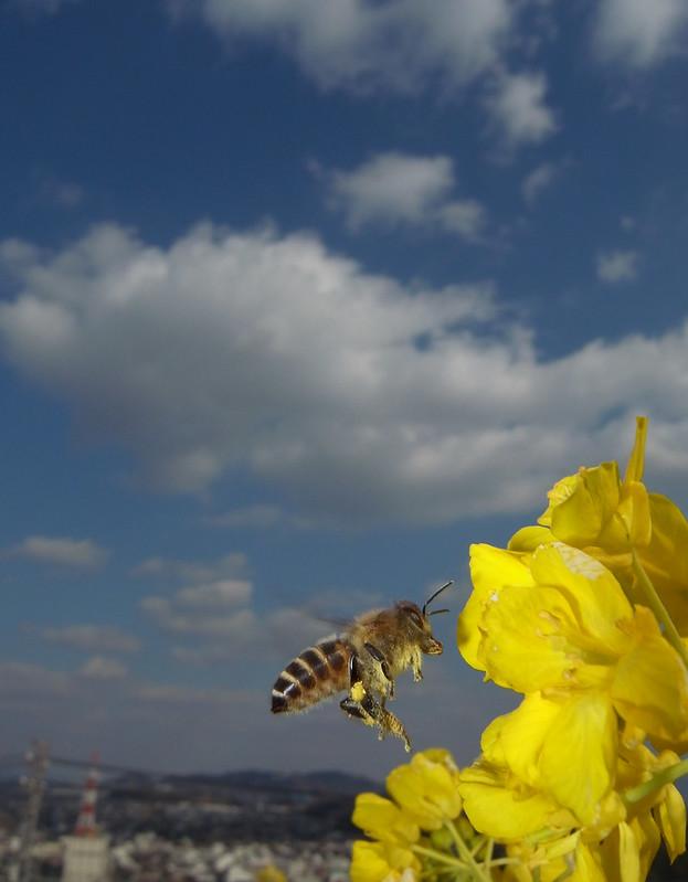 Apis cerana japonica