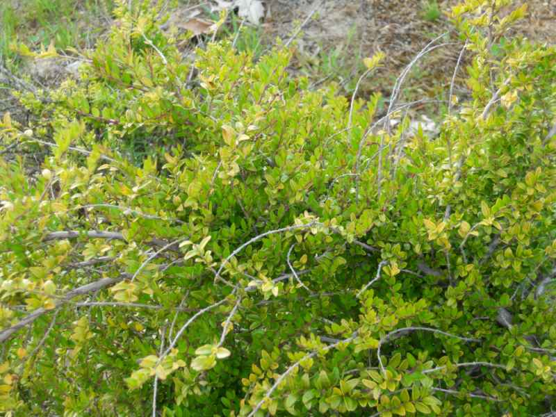 Cotoneaster praecox detalle 3