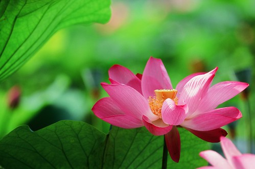 Lotus  荷花 | by Jennifer 真泥佛 * Taiwan
