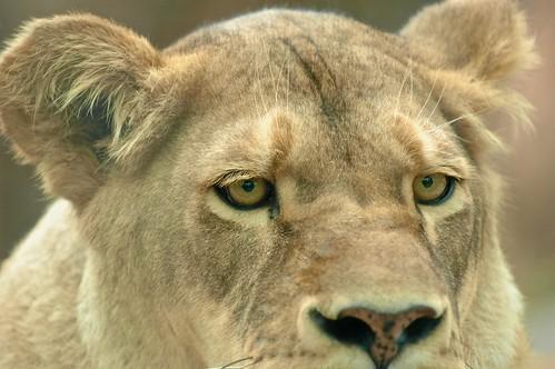 brown newyork animals cat hair fur nose zoo eyes nikon feline d70 african lion ears syracuse predator captive lioness tawny rosamondgifford sunsetsafari afsvrzoomnikkor70200mmf28gifed burnetpark yourphototips flickrbigcats scottwdw scottthomasphotography