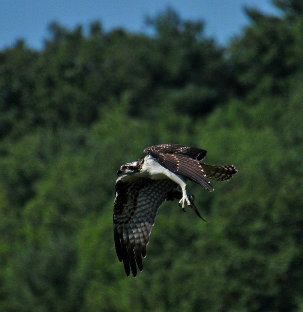 Juvenile Osprey with his breakfast fish