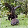 Crested Guan (Fight Series) by amkhosla