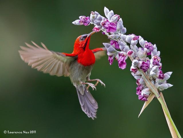 Crimson Sunbird 黄腰太陽鳥 (Aethopyga siparaja) @ MOG_20100522_0079