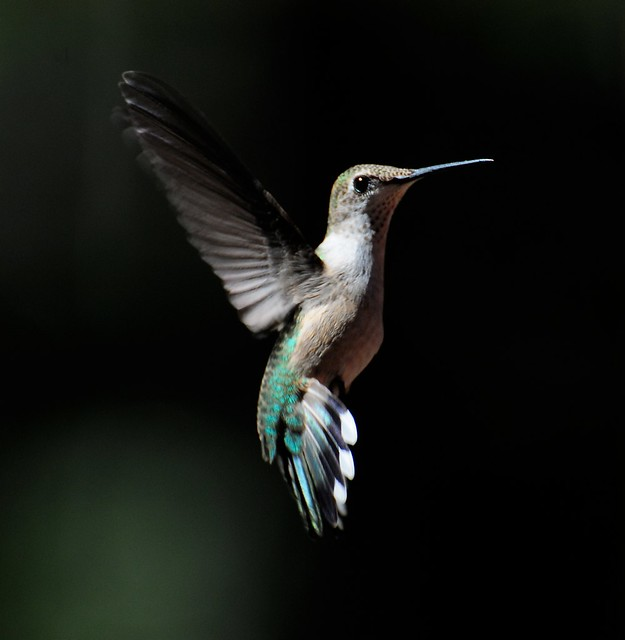 Female Ruby-throated Hummingbird 5