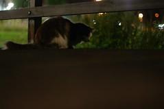 friendly midnight cat