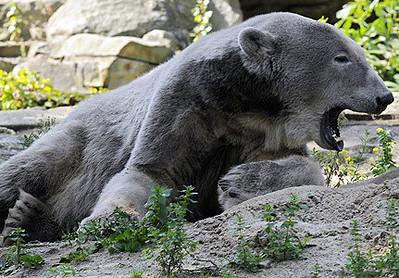 Grolar Bear ( cross between a Grizzly and Polar Bear)