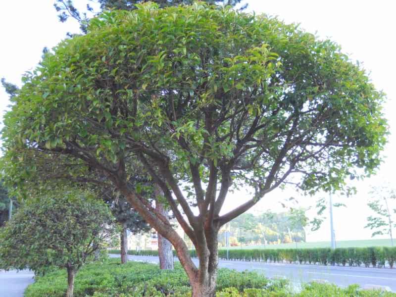 Ligustrum lucidum árbol 1