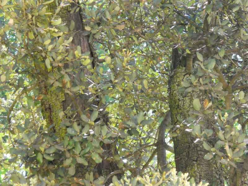 Quercus ilex detalle 2
