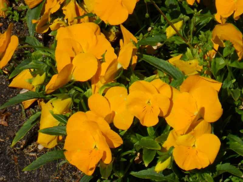 Viola cornuta amarilla 3