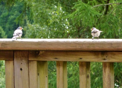 Two Chaffinches (14/07/2010)