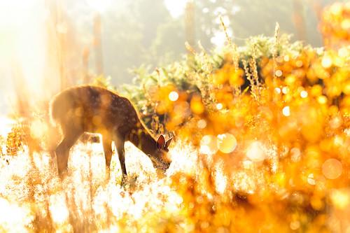 lighting morning light summer england sun white mist nature misty fairytale forest sunrise golden countryside kent nikon bokeh wildlife deer ethereal wonderland storybook magical 70200 f28 enchanted d3