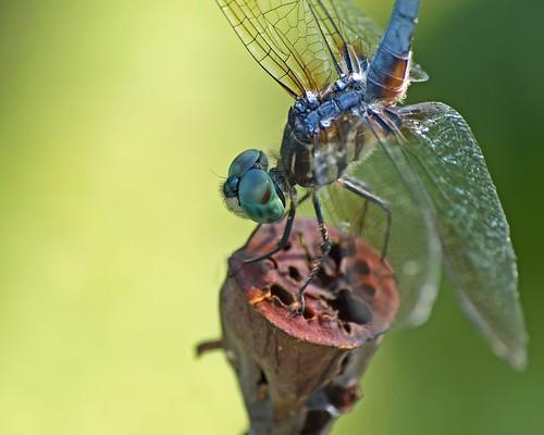 macro dragonfly © 70300mm odonata washingtonnc bluedasher garyburke lotusseedpod olympuse620 tarpamlicoriverbasin dragonflyincooldownmodetailup