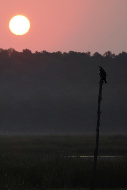 An Osprey enjoying the sunrise at Blackwater NWR