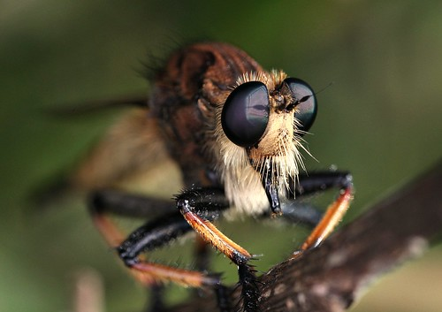 Robberfly | by DrPhotoMoto