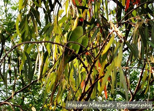 bird nature nikon parrot camoflage d5000