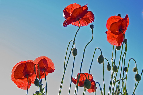 Poppies | by the yes man