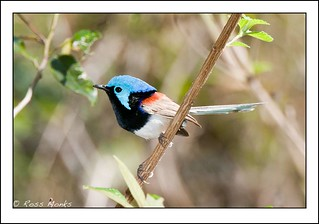 Variegated Fairy Wren | by Ross_M