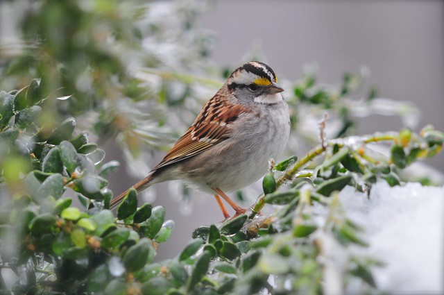 White-throated Sparrow winter 2011