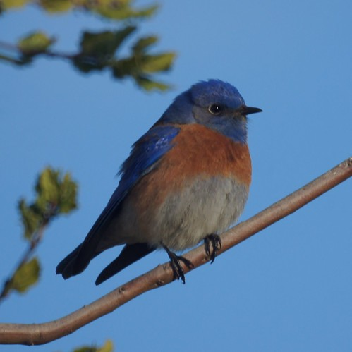 Western Bluebird | by Mike's Birds