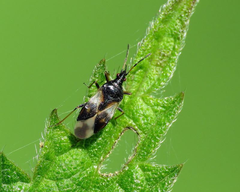 Common Flower Bug - Anthocoris nemorum