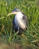 Pied Heron (Egretta picata) by Lip Kee