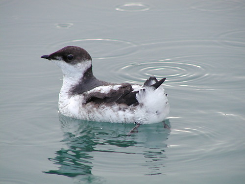 Juvenile Marbled Murrelet | by USFWS Pacific
