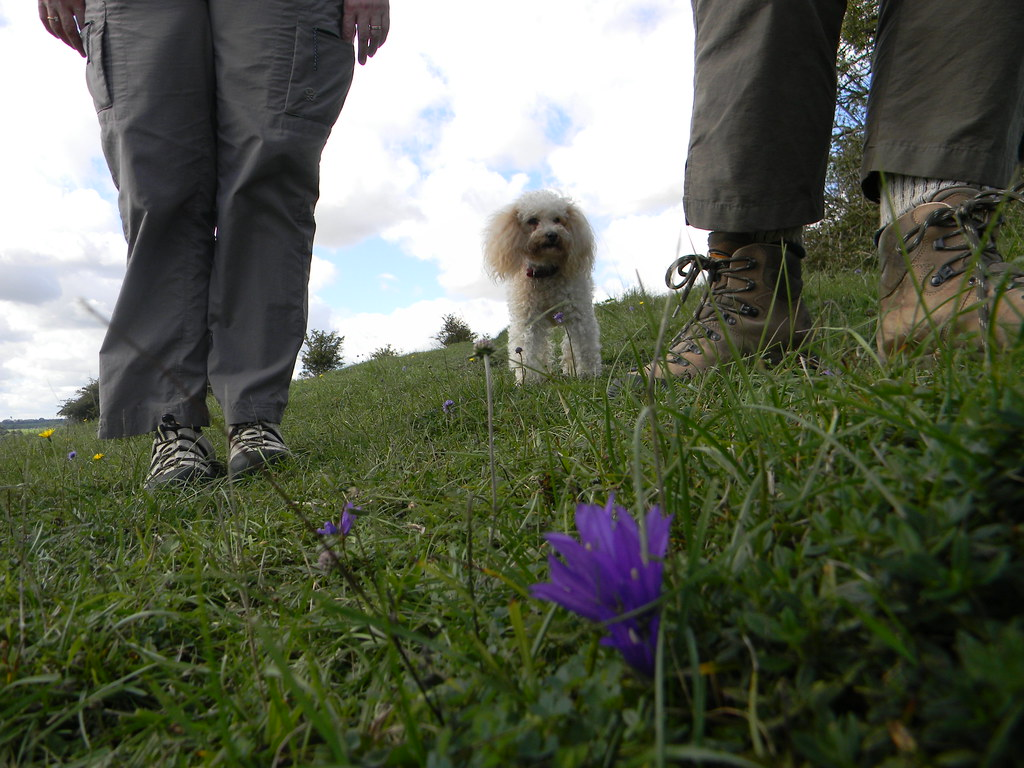 Clustered Bellflower with dog and feet Winchester Circular