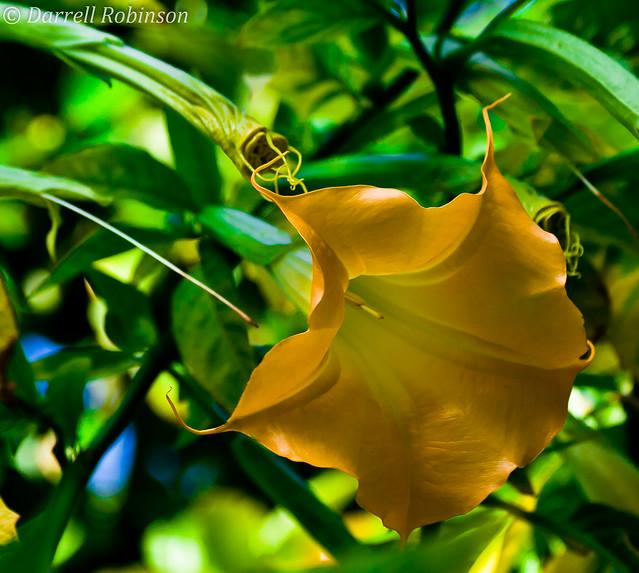 Angel Trumpet Flower